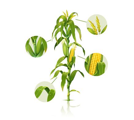 Clip art illustration of corn stalk