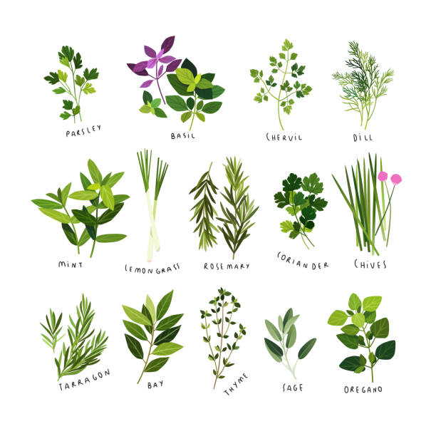 Clip art illustrations of culinary herbs and spices Clip art illustrations of herbs and spices such as parsley, basil, chervil, dill, mint, lemongrass, rosemary, coriander, chives, tarragon, bay leaves, thyme, sage and oregano dill stock illustrations