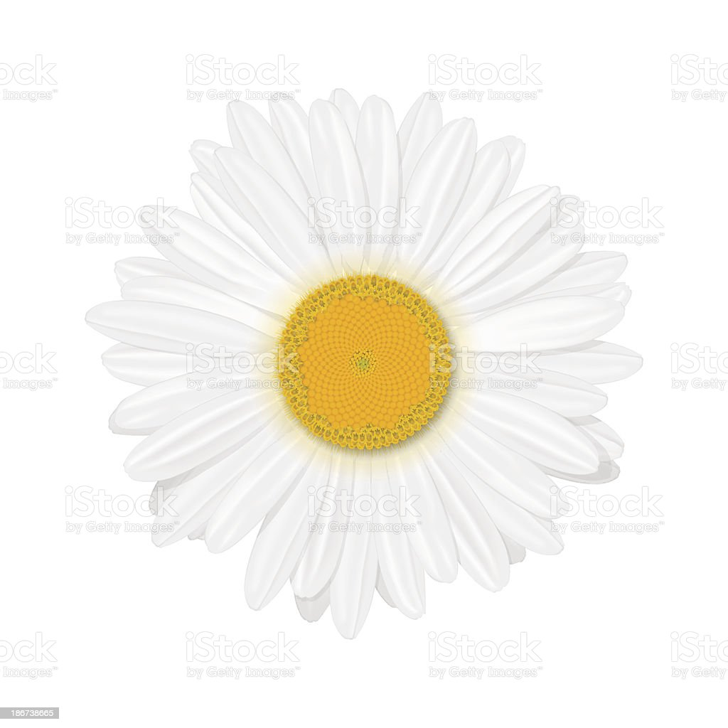 Close up photo of chamomile flower on white background vector art illustration