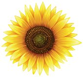 Close up sunflower with fine details illustration