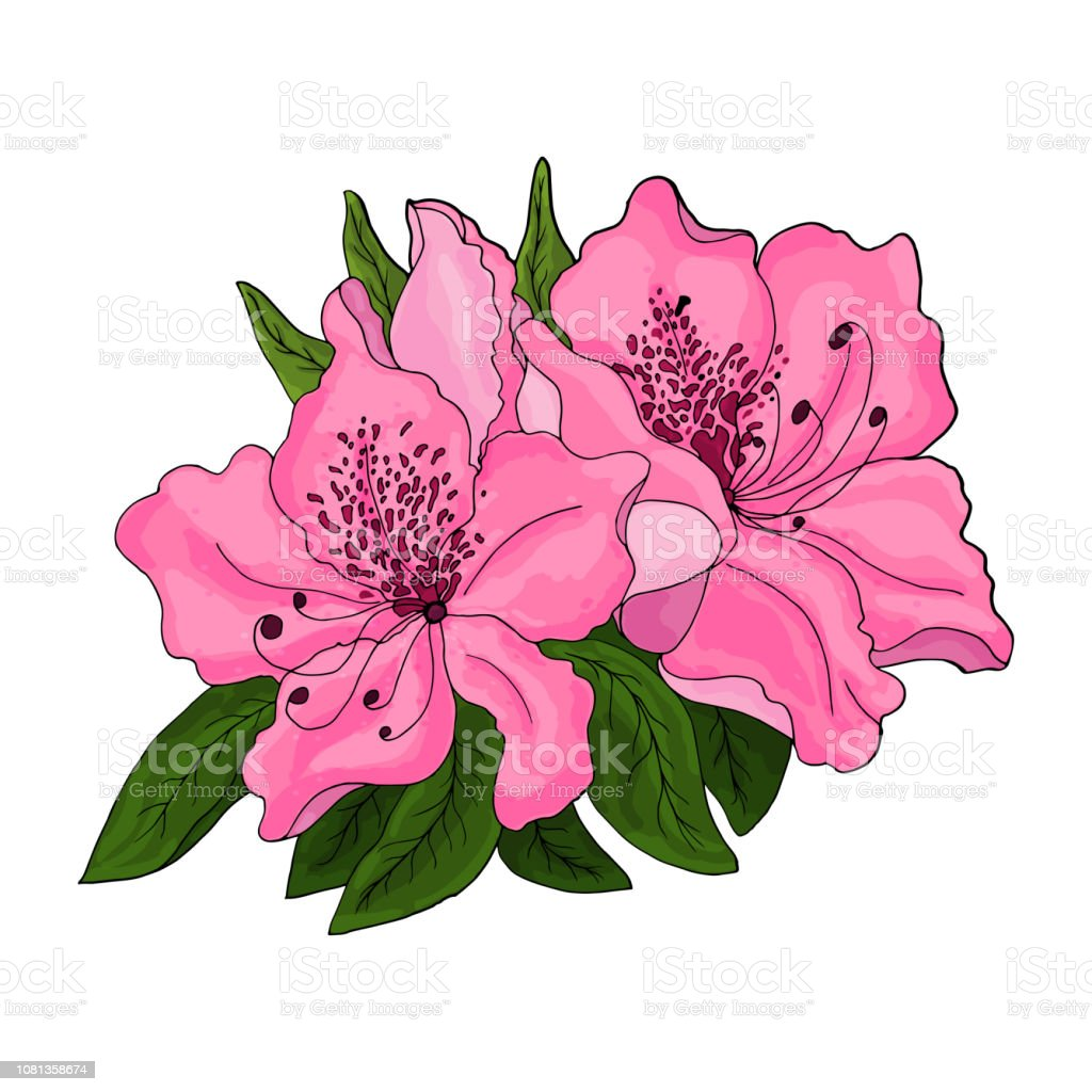 Closeup of pink azalea flowers with green foliage and half open bud...