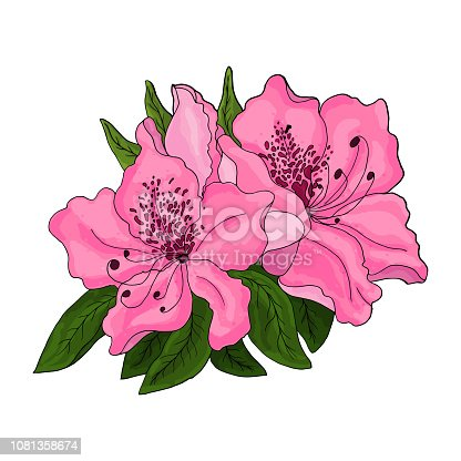 Closeup of pink azalea flowers with green foliage and half open bud on white background. Vector illustration.