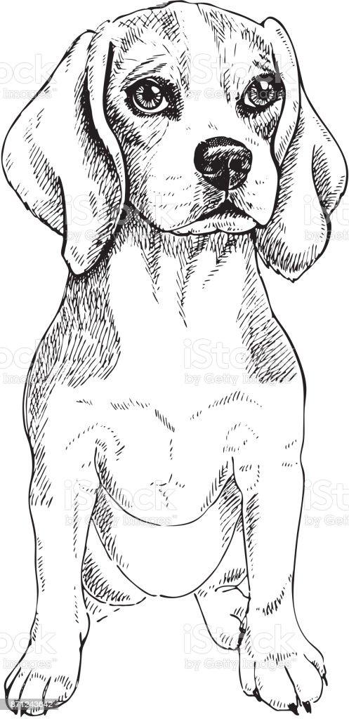 Retrato de primer plano de sentarse el perro Beagle. Vector de grabado arte. Smilling amigable cachorro aislado sobre fondo blanco. Refugio, flyer, carteles, estampados de ropa del animal doméstico. Cartel de esbozo - ilustración de arte vectorial