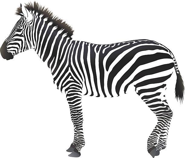 hoofed cloven-animal - zebras stock-grafiken, -clipart, -cartoons und -symbole