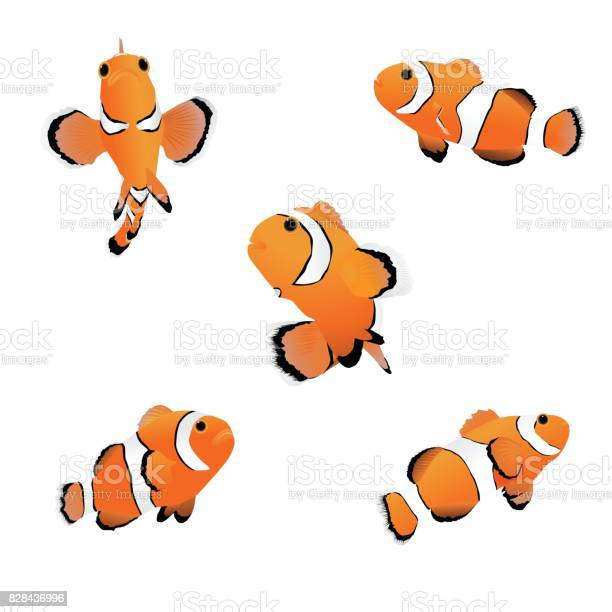 Clown anemonefish vector id828436996?b=1&k=6&m=828436996&s=612x612&h=cdpnux6eqqvktczxz8pkpyyrffq t30srwu0xbvizok=