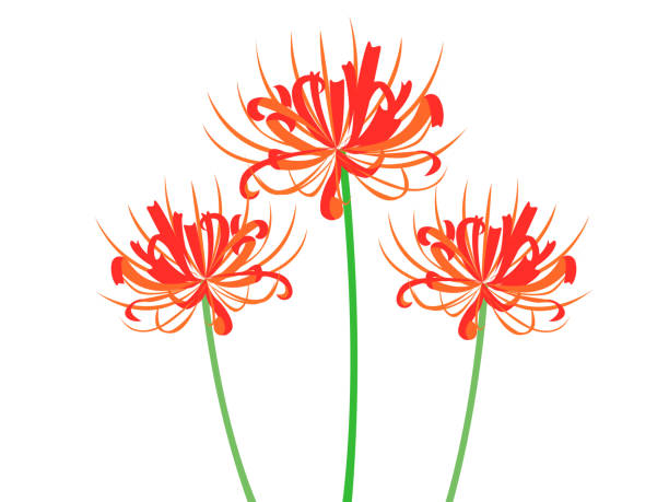 cluster belladonnalilien - inkalilie stock-grafiken, -clipart, -cartoons und -symbole