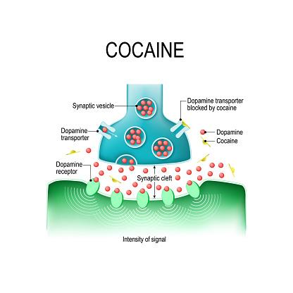 Cocaine and dopamine