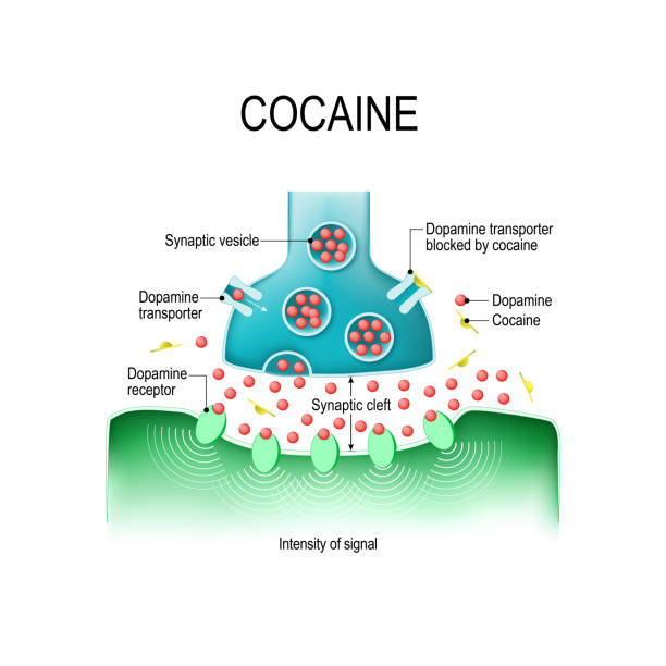 Cocaine and dopamine Cocaine causes dopamine buildup in the synapseIn. Cocaine blocks the dopamine transporter, and causing an intensified response within the receiving cell. neurodegenerative disease stock illustrations