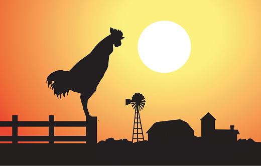 Cock at Morning Sunrise