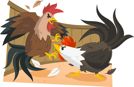 Cock Fight Rooster Fights