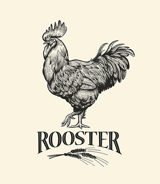 Cock in Vintage engraving style. Rooster grunge label. Illustration of the cock in Vintage engraving style. Rooster grunge label. Sticker image for the farms and manufacturing depicting rooster. Grunge label for the chicken product. rooster stock illustrations