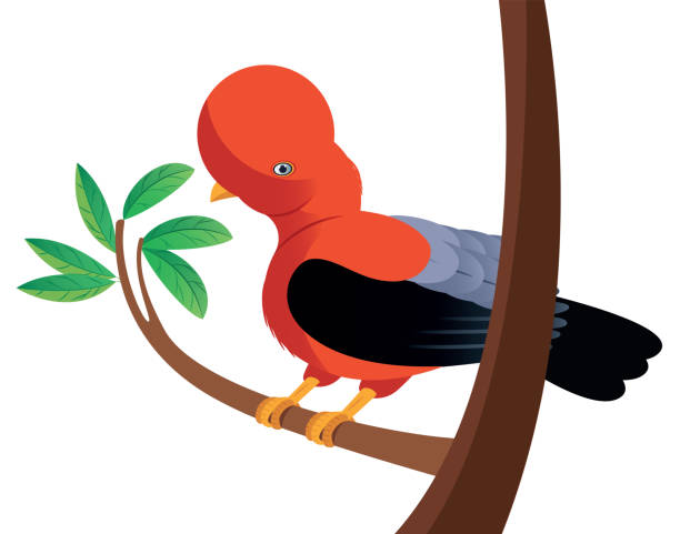ilustrações, clipart, desenhos animados e ícones de cock-of-the-rock - manaus