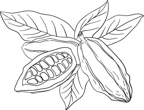 Cocoa bean sketch illustration