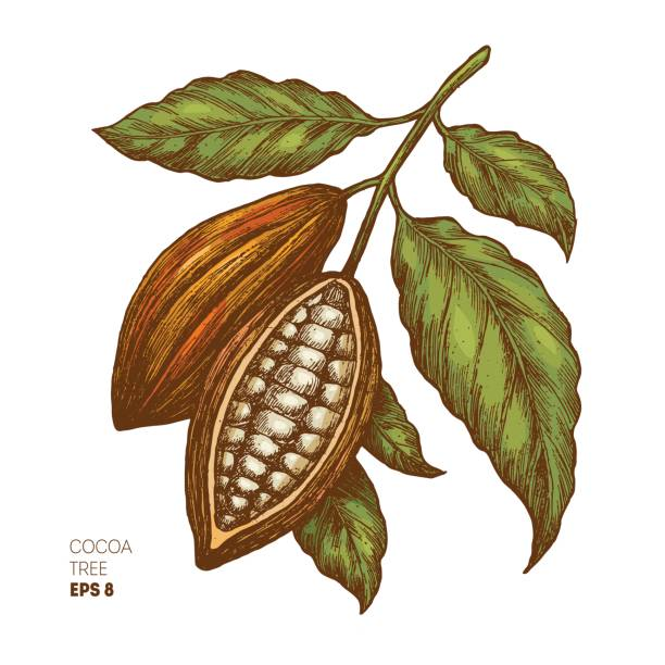 Cocoa beans illustration. Engraved style illustration. Chocolate cocoa beans. Vector illustration Vector illustration hot chocolate stock illustrations