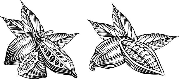 cocoa beans - plant pod stock illustrations