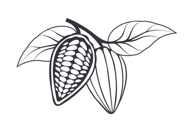 cocoa beans with leaves on white background. vector illustration. - plant pod stock illustrations