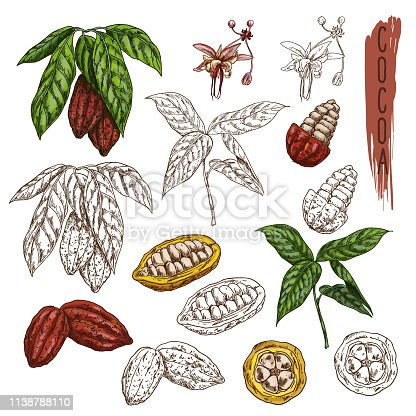 Set of isolated cocoa plants with leaf. Cacao sketch or chocolate plant fetus. Coffee packaging or organic food illustration. Branch of drink ingredient,natural and tropical fruit beans. Confectionery