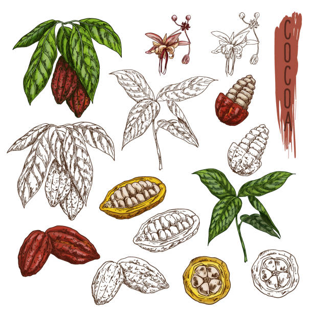 cocoa or cacao sketch, chocolate fruit branch - plant pod stock illustrations