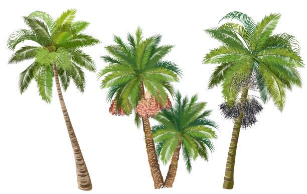 ilustrações de stock, clip art, desenhos animados e ícones de coconut, date and acai palm trees, set of realistic vector illustrations. - oleo palma