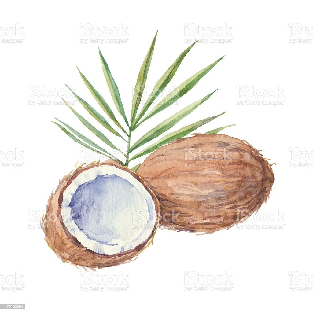 Coconut  isolated on a white background.Vector, watercolor hand drawn  illustration. vector art illustration
