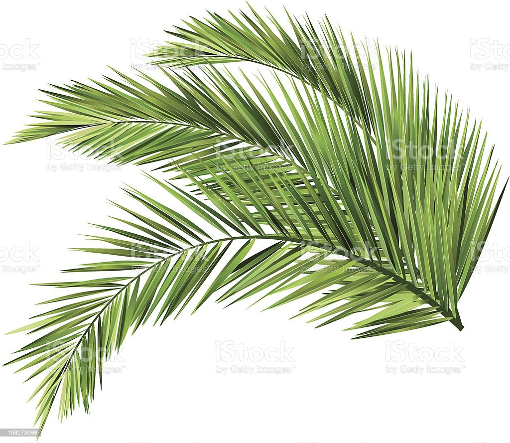 coconut leaves vector art illustration
