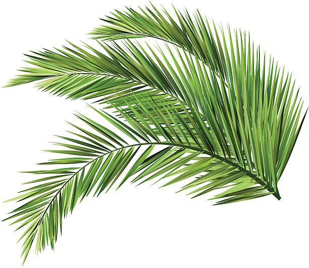 ilustrações, clipart, desenhos animados e ícones de folhas de coco - coqueiro