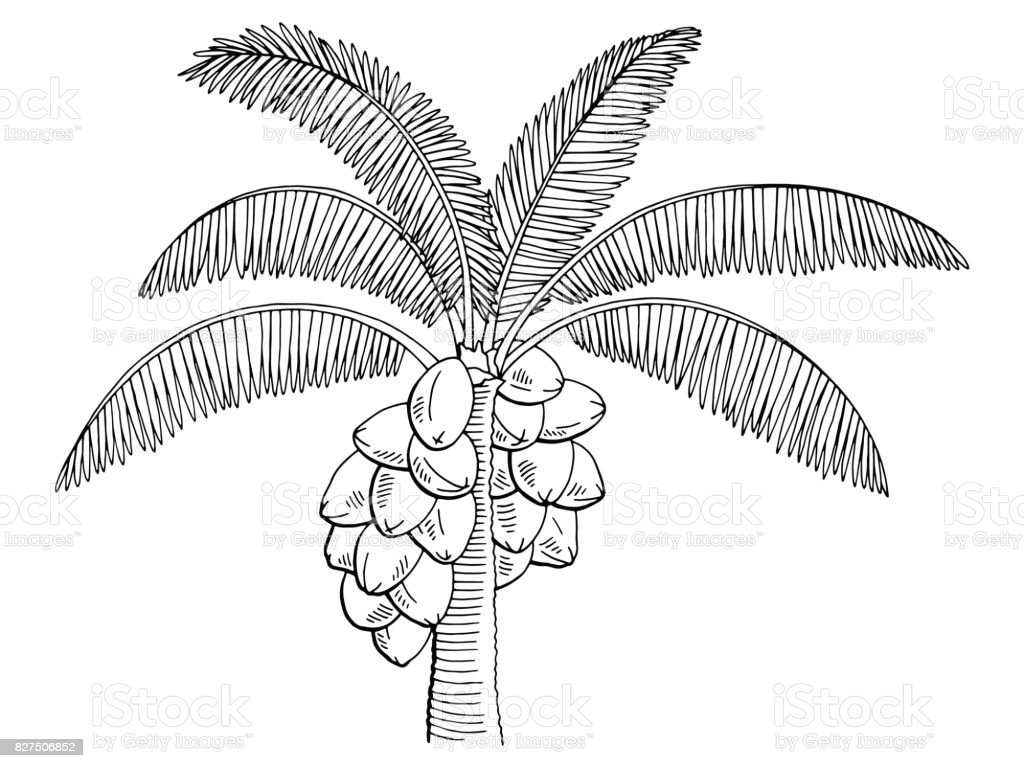 Coconut Palm Tree Graphic Black White Isolated Sketch Illustration