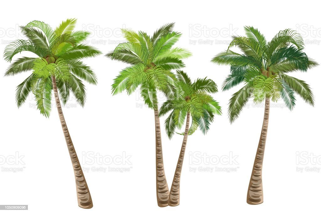 Coconut palm trees, set of realistic vector illustrations. royalty-free coconut palm trees set of realistic vector illustrations stock illustration - download image now