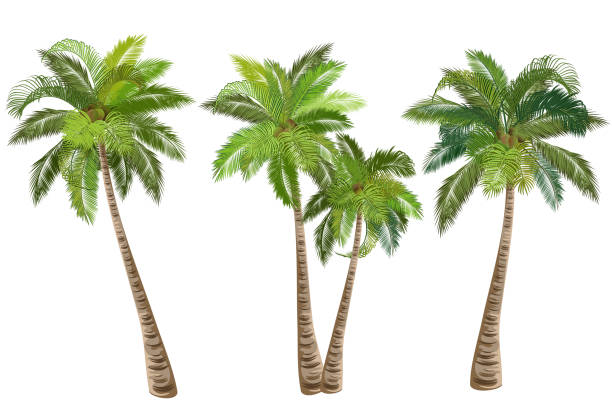 coconut palm trees, set of realistic vector illustrations. - palm tree stock illustrations