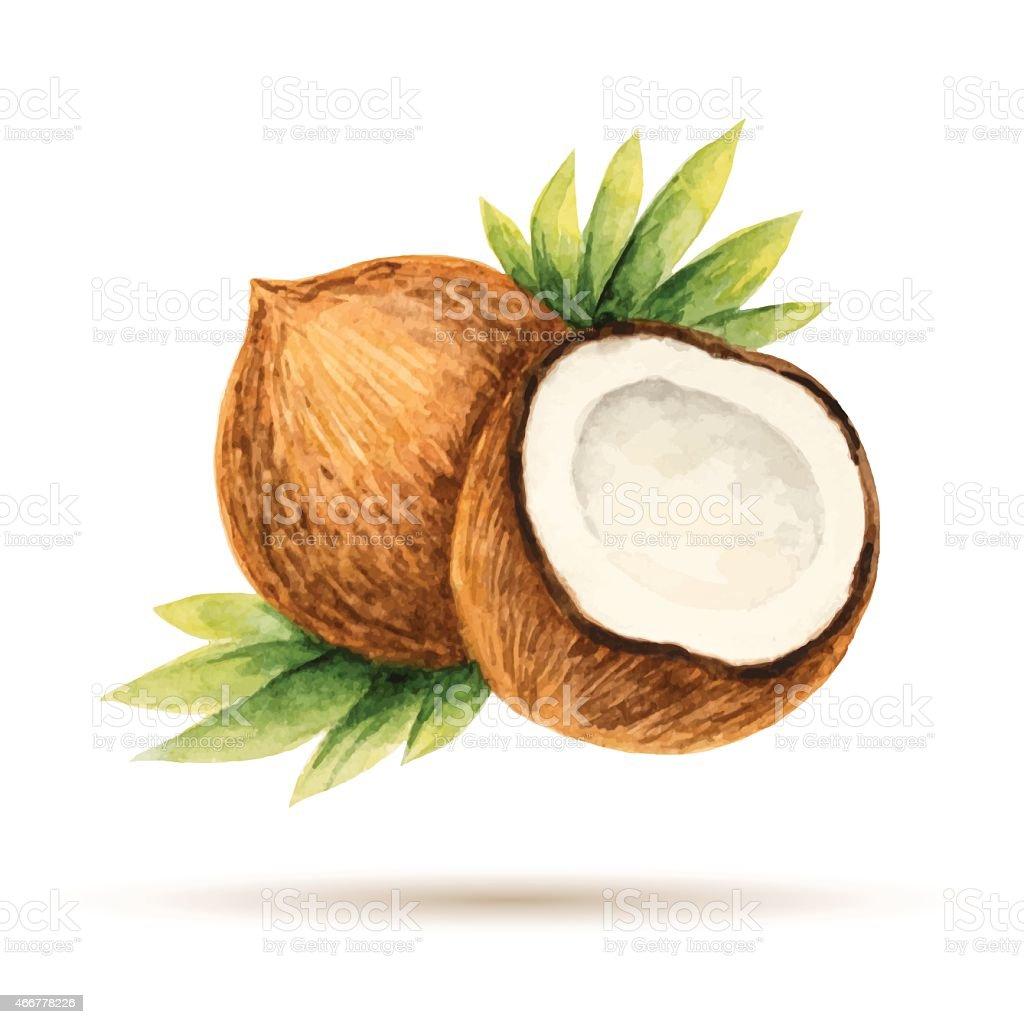 Coconut vector art illustration