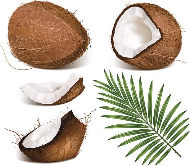 ilustrações, clipart, desenhos animados e ícones de coco com folhas. - coqueiro
