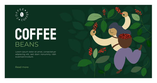 illustrazioni stock, clip art, cartoni animati e icone di tendenza di coffee beans template with picker - coffee farmer