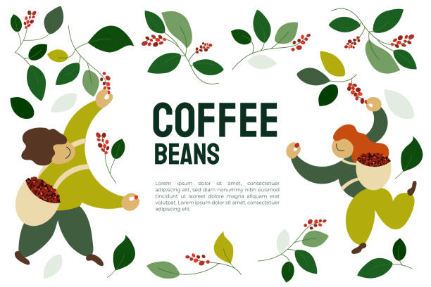 Coffee beans template with pickers Vector illustration of happy pickers are harvesting ripe red berries of coffee from branches of trees. Coffee beans template for farmer, roasters company. Design for banner, book, flyer, print, poster picking harvesting stock illustrations
