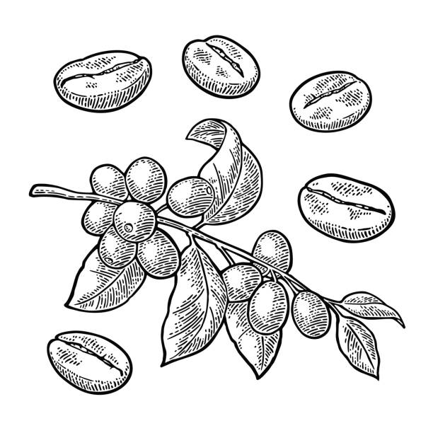 coffee branch with leaf, berry and beans. vintage vector engraving - ziarno kawy palonej stock illustrations