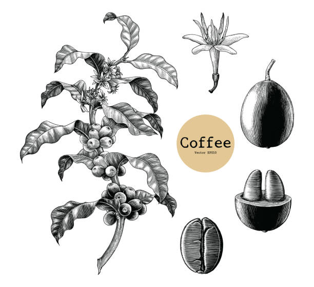 coffee branch,coffee flower,coffee bean hand drawing vintage clip art isolated on white background - граттаж stock illustrations