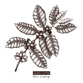 Botanical illustration of Arabica with fruits. Vector hand drawn coffee plant sketch. Aromatic and tonic elements collection