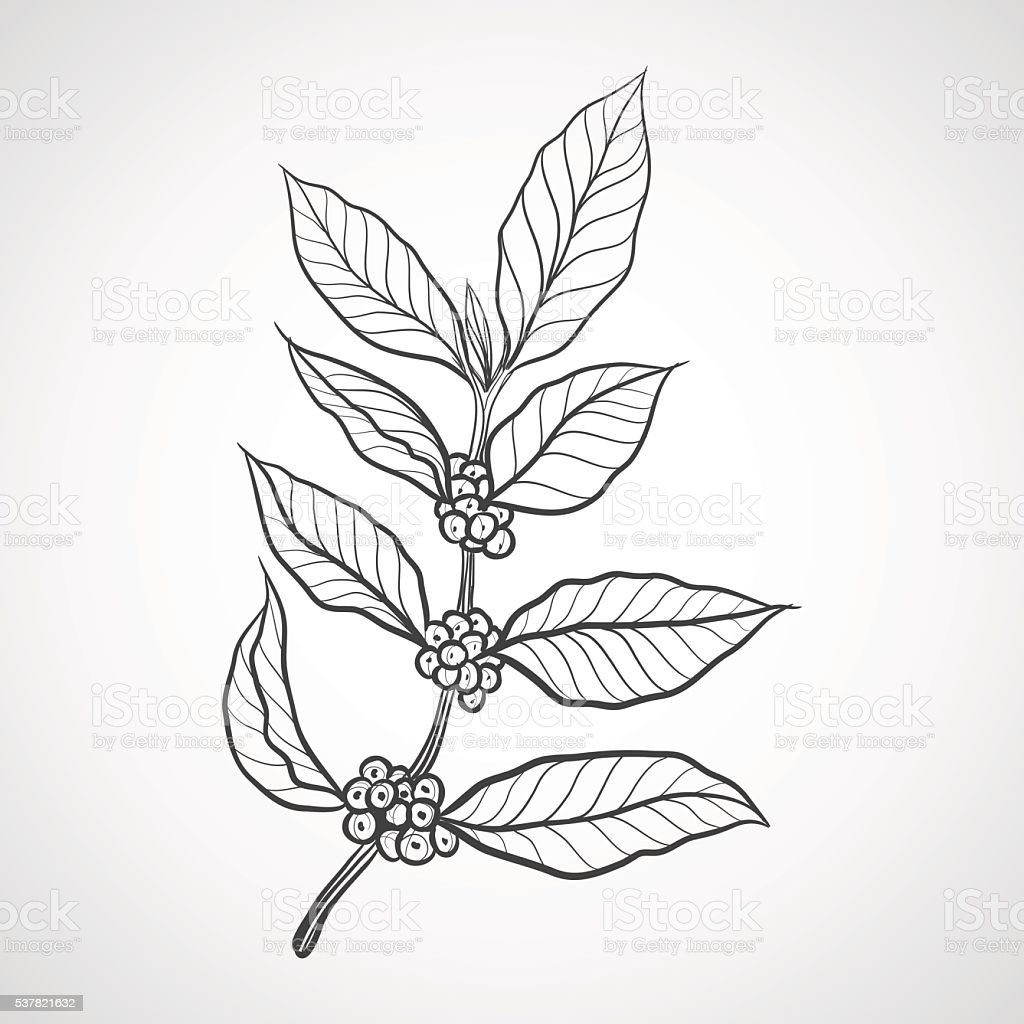 Coffee plant with coffee leaf vector art illustration