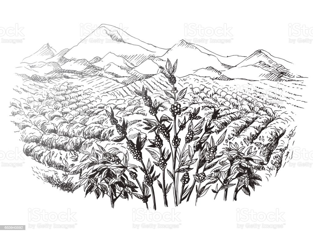 coffee plantation landscape vector art illustration