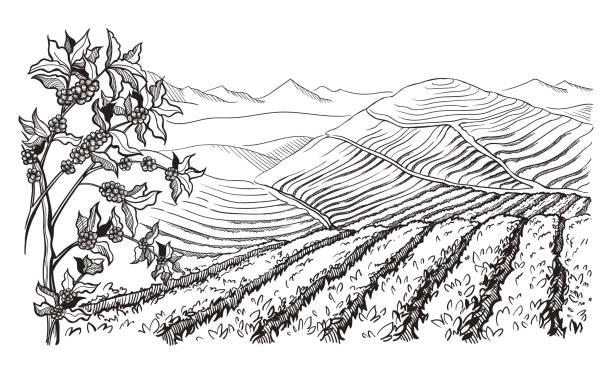 커피 농장 풍경 - coffee stock illustrations