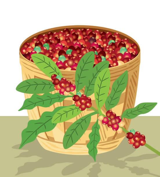 kaffee baum - cartagena stock-grafiken, -clipart, -cartoons und -symbole