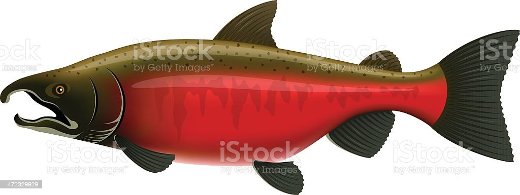Coho Salmon royalty-free coho salmon stock vector art & more images of animal