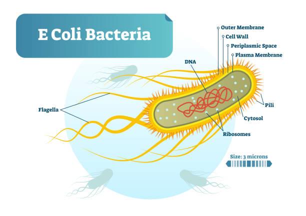 e-coli bakterien mikro biologischen vektor-illustration kreuz abschnitt beschrifteten diagramm. medizinische forschung informationen plakat. - prokaryont stock-grafiken, -clipart, -cartoons und -symbole
