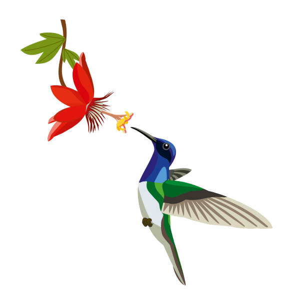 colibri with a flower on a white background. - hummingbird stock illustrations