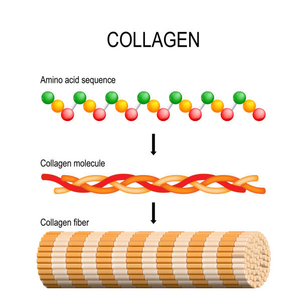 Collagen (fiber, molecule, and Amino acid sequence). Molecular structure. Collagen (fiber, molecule, and Amino acid sequence). Molecular structure. Three polypeptides coil to form tropocollagen. Tropocollagens bind together to form a fibril. Many fibrils bind together form a collagen fibre. Vector diagram for educational, medical, biological and science use. Connective tissue amino acid stock illustrations