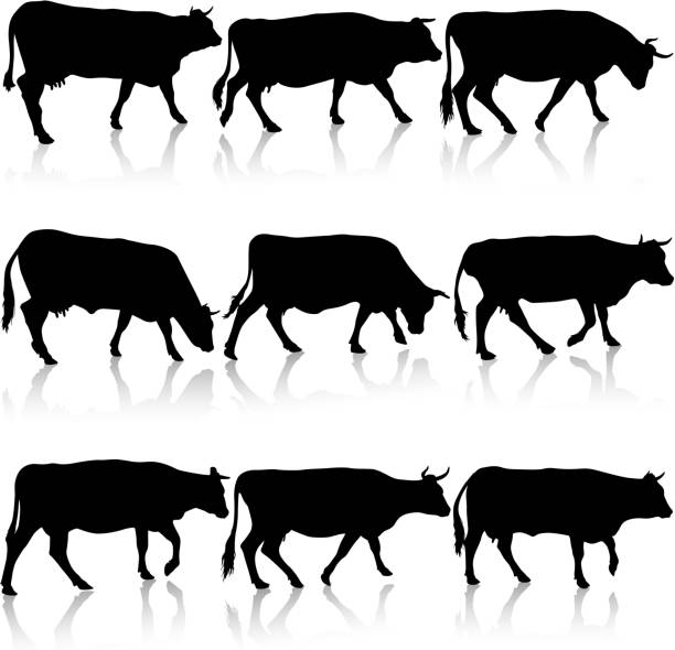 Collection  black silhouettes of cow. Vector illustration. vector art illustration