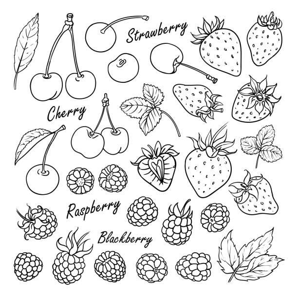 Collection of berries: cherry, strawberry, raspberry, blackberry isolated on white Set of vector fruits and berries: cherry, strawberry, raspberry, blackberry. Hand drawn collection for design, isolated on white. Black lines sketch berry fruit stock illustrations