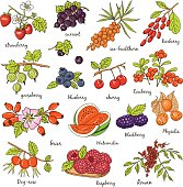 Collection of berries Vector illustration