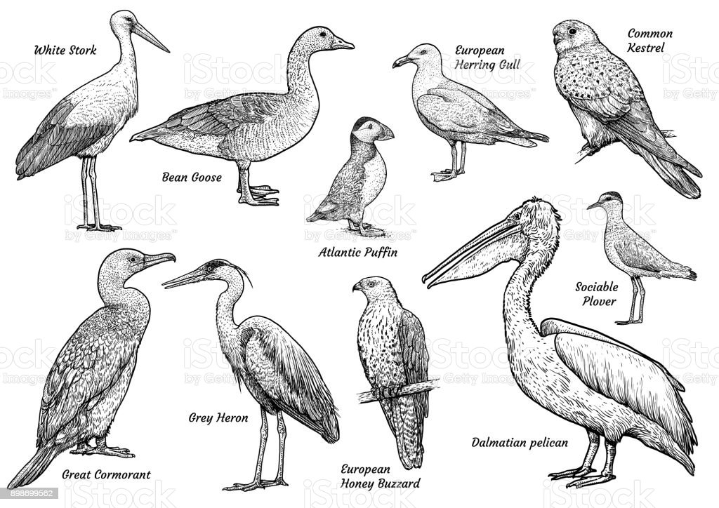 Drowings Imags: Collection Of Birds Illustration Drawing Engraving Ink