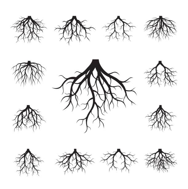 illustrazioni stock, clip art, cartoni animati e icone di tendenza di collection of black roots. - radice