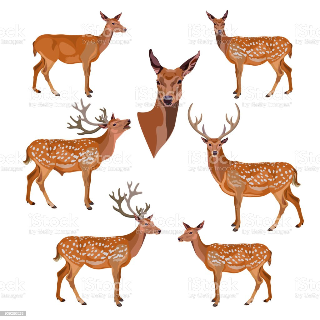 Collection de cerfs - Illustration vectorielle